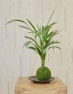 Kokedama Howea Kentia - Art végétal japonais - Gamme Satsuki