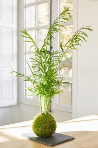Kokedama Chamaedorea - Art végétal japonais - Gamme Satsuki