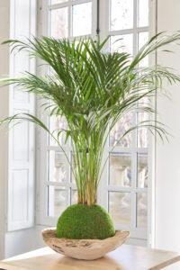 Kokedama Chrysalidocarpus - Art végétal japonais - Gamme Shitossé
