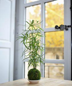 Kokedama Asparagus Faltacus - Art Végétal Japonais - Gamme Futaba