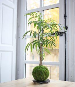 Kokedama Polyscias - Art végétal Japonais - Gamme Waka
